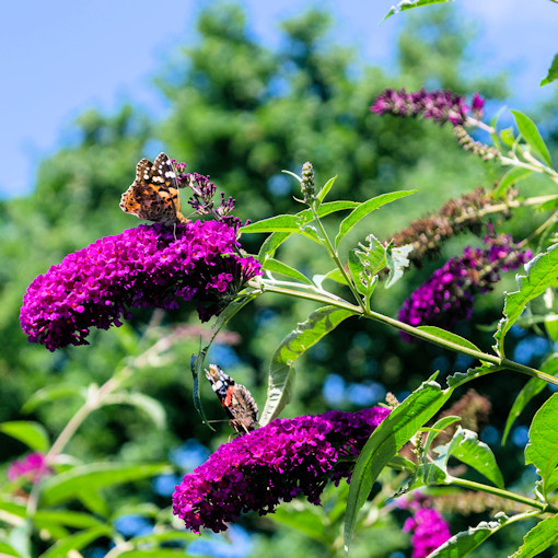 Royal Red Butterfly Bush with butterflies