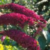 royal red butterfly bush