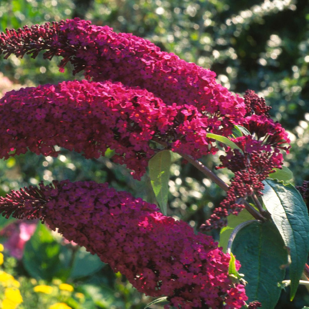 Picture of Live Butterfly Bush(purp-red) aka Buddleia dav. 'Royal Red' Plant Fit 5 Gallon Pot