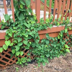 Wooly Pipevine Plant
