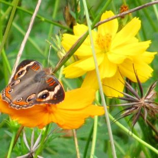 A Buckeye butterfly visiting Cosmos. The large Cosmos Bright Lights seeds can be seen in the picture.