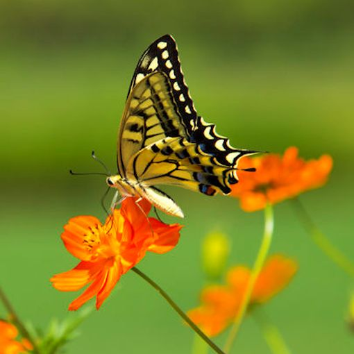 Tiger Swallowtail Butterfly on Sulphur Cosmos