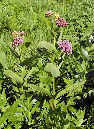 asclepias sullivantii in the field