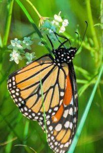 Monarch on Asclepias verticillata