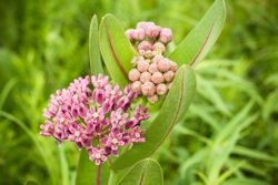 Prairie Milkweed In Bloom