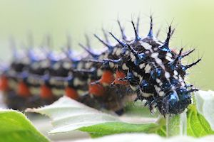 buckeye butterfly caterpillar