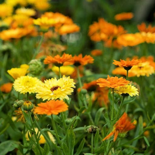 calendula from pacific beauty seeds