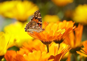 calendula from seeds Painted Lady Butterfly