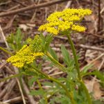 golden alexanders from seeds