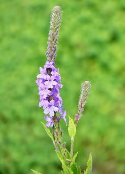 Verbena Stricta Flower