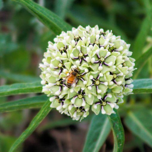 asclepias asperula flower