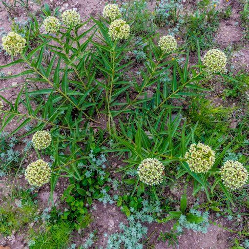 antelope horn seed plant