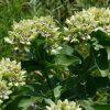green milkweed seeds flowers
