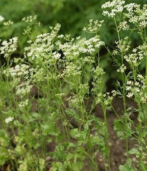 pimpinella anisum seed plant