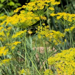 dill seed flowers