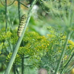 Caterpillar on branch dill in summer