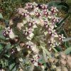indian milkweed flower