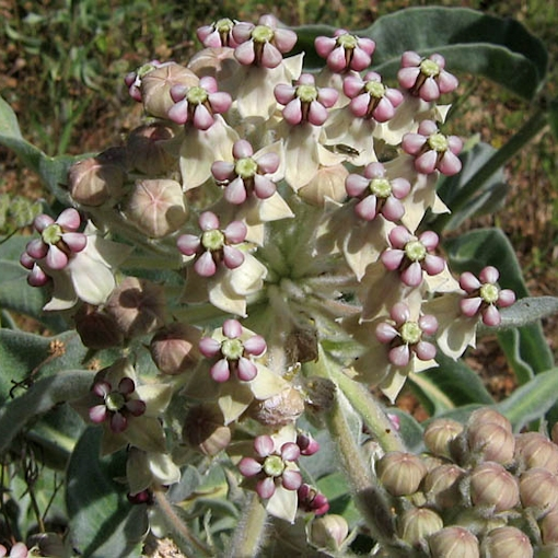 Indian, Woolly-Pod Milkweed Seeds and Plants (Asclepias eriocarpa)