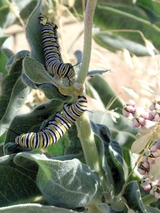 monarch caterpillars on woollypod milkweed
