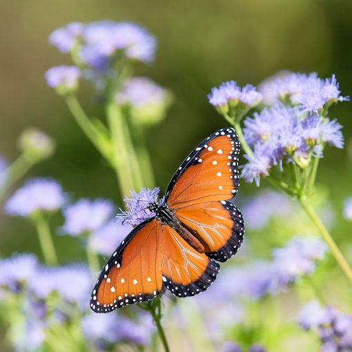 Queen butterfly on blue mistflower