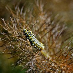 bronze fennel swallowtail caterpillar