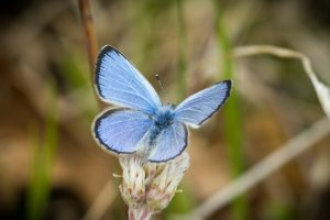 Karner blue butterfly close up