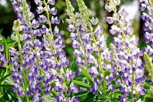 Wild Lupine Flowers