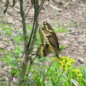 female giant swallowtail butterfly laying and egg on ruta graveolens