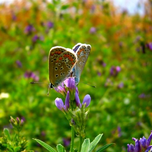 karner blues on wild lupine