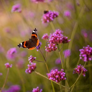 purpletop vervain red admiral butterfly