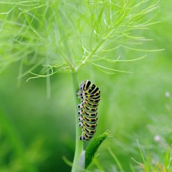 sweet fennel swallowtail caterpillar