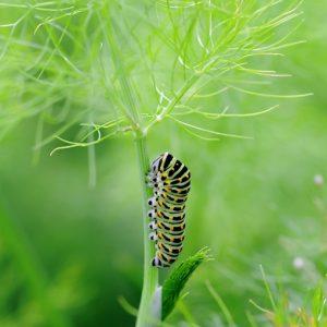 sweet fennel swallowtail caterpillar