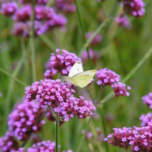 verbena bonariensis yellow butterfly