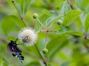 Pipevine Swallowtail Butterfly on Common Buttonbush Plant (Cephalanthus occidentalis)
