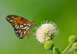 Gulf Fritillary butterfly feeding on buttonbush flower
