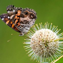 buttonbush shrub with painted lady butterfly