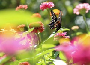 black swallowtail zinnia