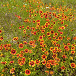 Indian blanket seed heads and flowers