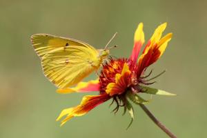 Orange Sulfur Butterfly on Blanket Flower