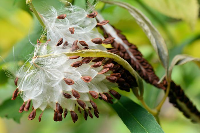 Milkweed seeds for cold stratification