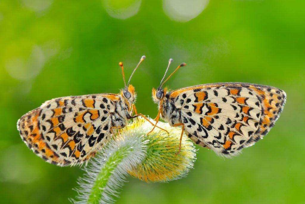 two butterflies communicating