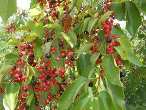 Wild Cherry Fruit Tree