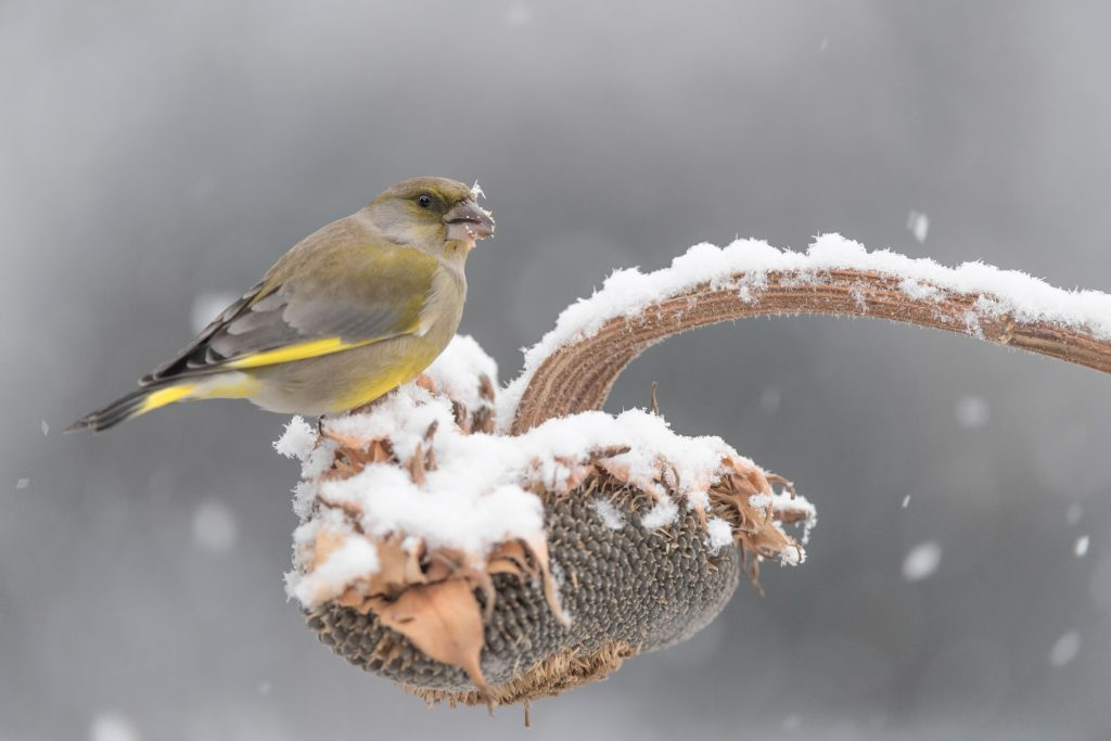 Bird feeding on seeds in winter