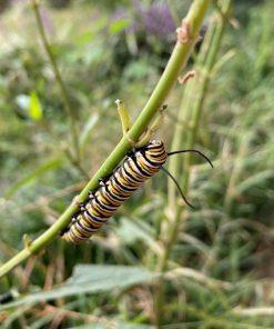 Monarch caterpillar on a bare milkweed stem